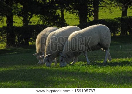 Sheep graze in a field near Pavenham in Bedfordshire England UK. Despite the warm weekend temperatures these sheep are busy fattening up for the coming winter.