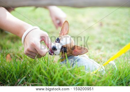 Dog in field. chiwawa retriever puppy in field. Puppy lovely. Male dog in park.