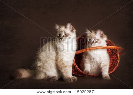 Two cute kitten Neva masquerade sitting in the basket peeking out fun to play. A good cat for a family a best friend