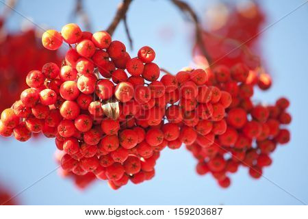 orange ashberries bunch closeup on blue sky background