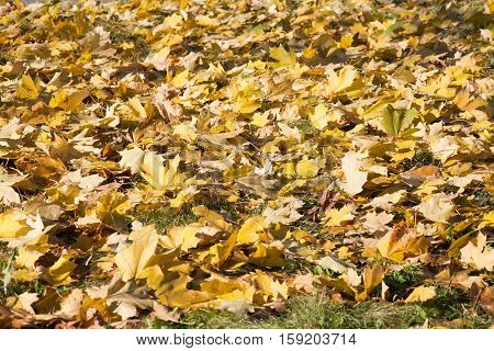 fall yellow leaves cover on the ground abstract background
