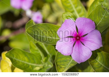 Catharanthus Roseus Flowers, Rosy Periwinkle