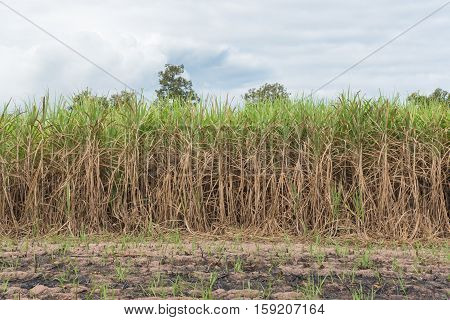 Sugarcane field in blue sky with cloud in Thailand