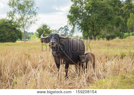 Buffalo eating hay in rice field,Harvest time last year