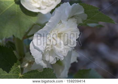 White Alcea Rosea, Double Hollyhock Flower