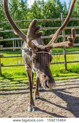 Reindeer In Lapland (finland)