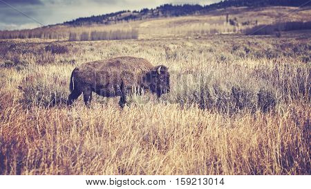 Vintage Toned American Bison Grazing In The Grand Teton National Park, Wyoming, Usa.