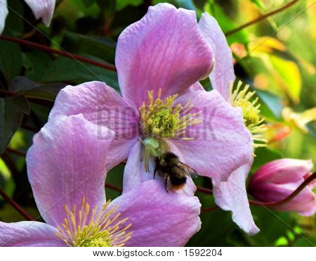 Closeup Of Bumble Bee And Spider On Clematis
