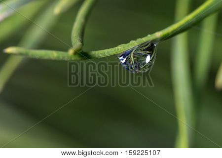 Water drop on pine needle showing refracted image of other pine needles