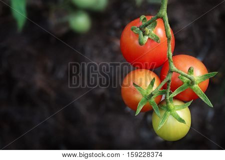 Tomatoes ripening on vine with dark soil background