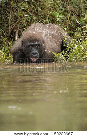 Beautiful and wild lowland gorilla in the nature habitat in Africa