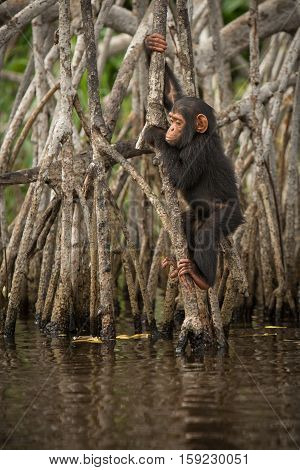 Beautiful and nice chimpanzee in the nature habitat in Africa