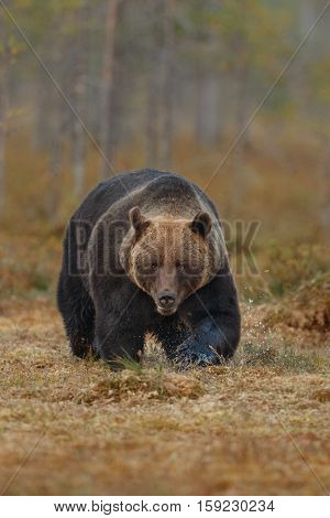 Brown bear in the nature habitat of finland land, finland wildlife, rare encounter, big predator, european wild nature, forest king