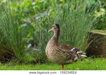 Close up of a brown Mallard Duck