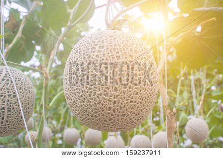 Cantaloupe melons growing in a greenhouse.country farm thailand.skin season market work.