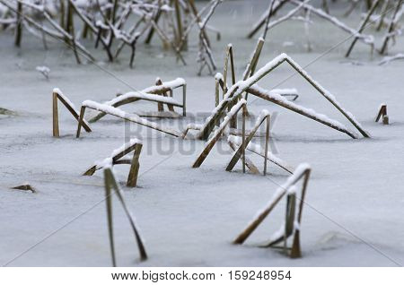 The dried and cracked cane leaves under snow cover