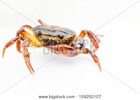 close up Freshwater crabs on White background. Ricefield crab in Thailand.