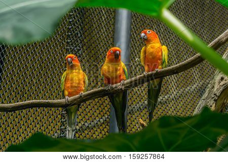 three yellow bird standing on the branch in cage Sun Conure (Aratinga solstitialis)