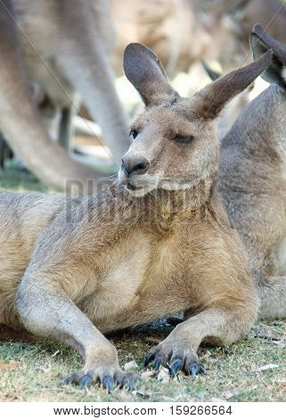 Kangaroo resting up in grasslands in the Australian Outback. Young Kangaroo resting close-up. Australian wildlife
