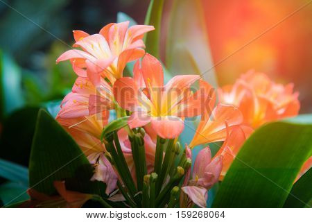closeup of sunlit Kafir Lillies and light Fair