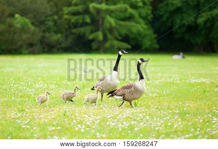 Couple Of Canadian Geese With Little Goslings