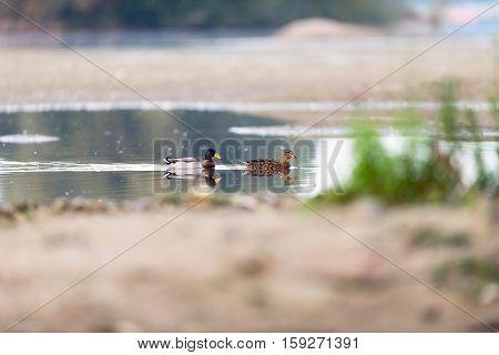 Couple Male And Female Mallard Swimming In Pond.