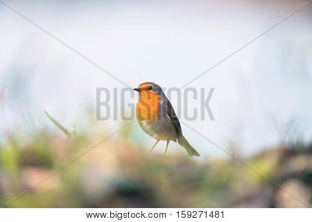 European Robin Perching Between Grass On Ground.