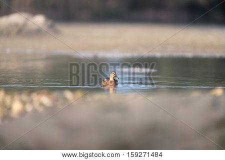 Female Mallard Swimming In Water Of Small Lake.