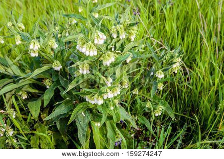 Closeup of a white blossoming and partially overblown common comfrey or Symphytum officinale plant in its own natural habitat between other wild plants. It is springtime now.