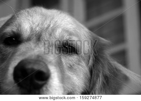 PHOTO OF GOLDEN RETRIEVER LOOKING AT CAMERA