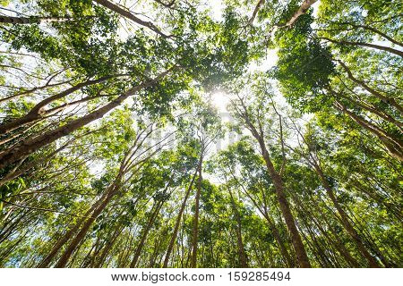 Rubber Tree Background In Deep Forest