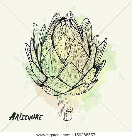 Vector hand drawn artichoke illustration on watercolor background