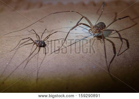 Daddy long legs arachnids pair on a cardboard