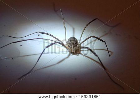 Very long legs arachnid waiting for a photo