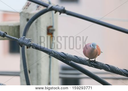 Dove selective focus perched on an electricity wire. birds in love as valentine love symbol. ( spotted dove Columbidae)
