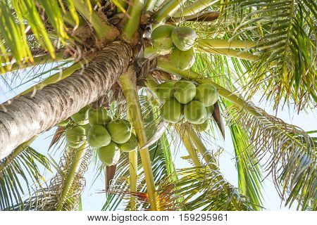 Sweet Coconut Cluster On Coconut Tree