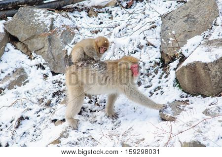 Monkey mom and her baby in a natural onsen (hot spring), located in Jigokudani Monkey Park or Snow Monkey, Nagono Japan.