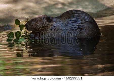 North American beaver (Castor canadensis), also known as the Canadian beaver.