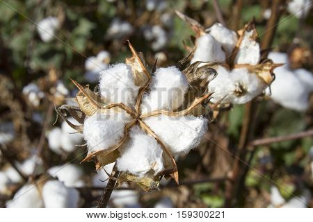 Ball Of Cotton On Plants