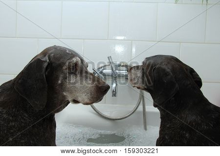 Two German Shorthaired Pointer sisters at the age of 13 in the bathtub poster