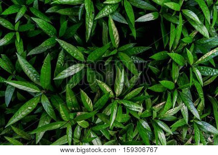 Pattern Of Green Leaves For Background