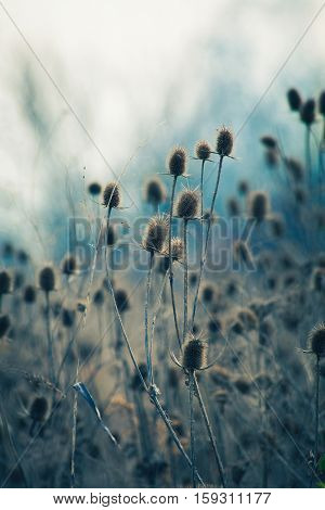 dry thistle in winter autumn  field closeup