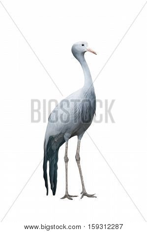 Blue crane isolated over a white background vertical shot