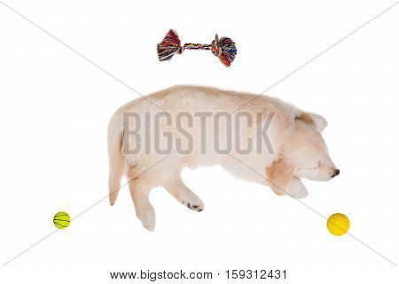 puppy golden retriever on a white background isolated. sleeping with toys
