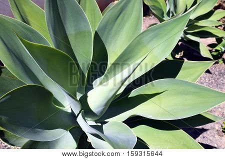 Agave succulent plants growing wild in Tenerife,Canary Islands,Spain.Floral background.