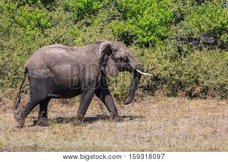 Elephant - single. The concept of exotic tourism. Fascinating journey to Africa. Watering large animals in the Okavango Delta, Chobe National Park