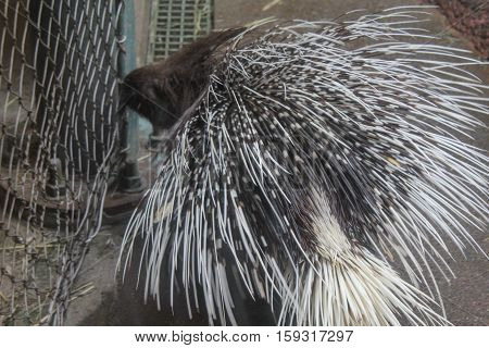 Porcupine at the Seattle wildlife Preserve in May
