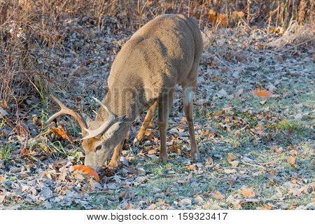 Whitetail Deer Buck standing in a field eating a pupkin