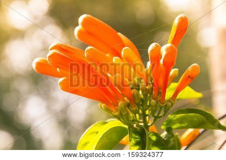 Pyrostegia venusta flamevine or orange trumpetvine climbing shrub with bright orange tubular flowers. Closeup selected focus background bokeh