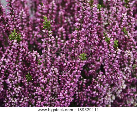 Heather flowers blossom.Calluna vulgaris flowers.Floral background.Selective focus.